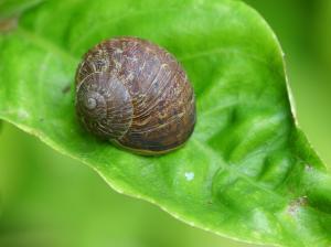 Garden Snail, Jon Sullivan