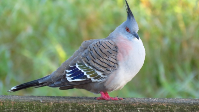 crested pigeon, minnippi parklands