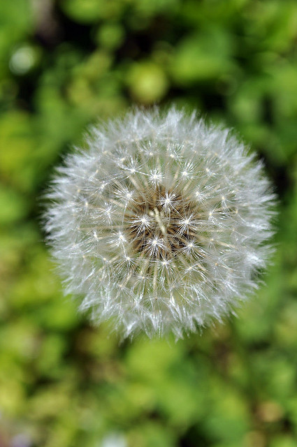 Picture of a dandelion.