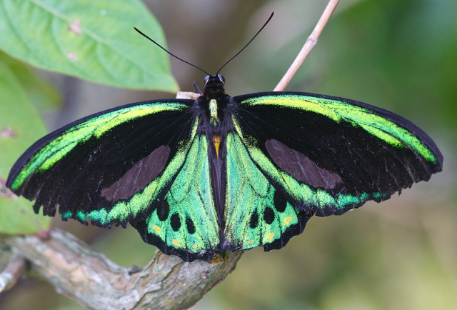 Photo of a male richmond birdwing butterfly resting on a stick, wings open.