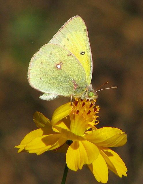 photo of a white butterfly sitting on a yellow cosmos