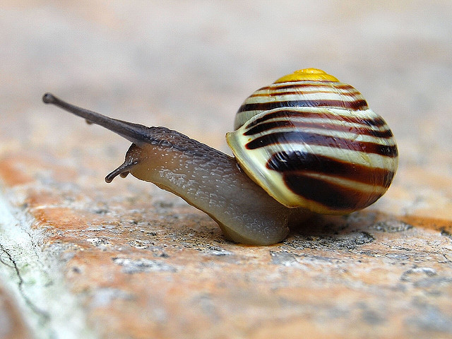 This snail has a gorgeous brown and white pattern on its shell. It is photographed from the front but is turning to look to the left.