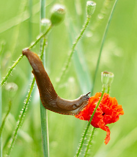 This is a close-up phtograph of a slug in a field of poppies. The slug is reaching from one poppy stalk to a flower on another stalk. Theorange poppy the slug reached toward is the brightest object in the photo.