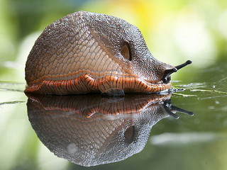 photo of a slug aliding across a reflective surface. The slug is grey on top, becoming more salmon coloured at the bottom. It is a beautiful photo.