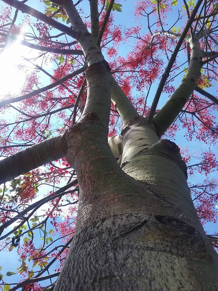 A photo of an Illawarra flame tree I took in 2017.